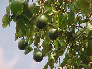 """авокадо """"аллигаторова груша"""""""